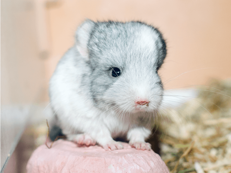 wild chinchilla