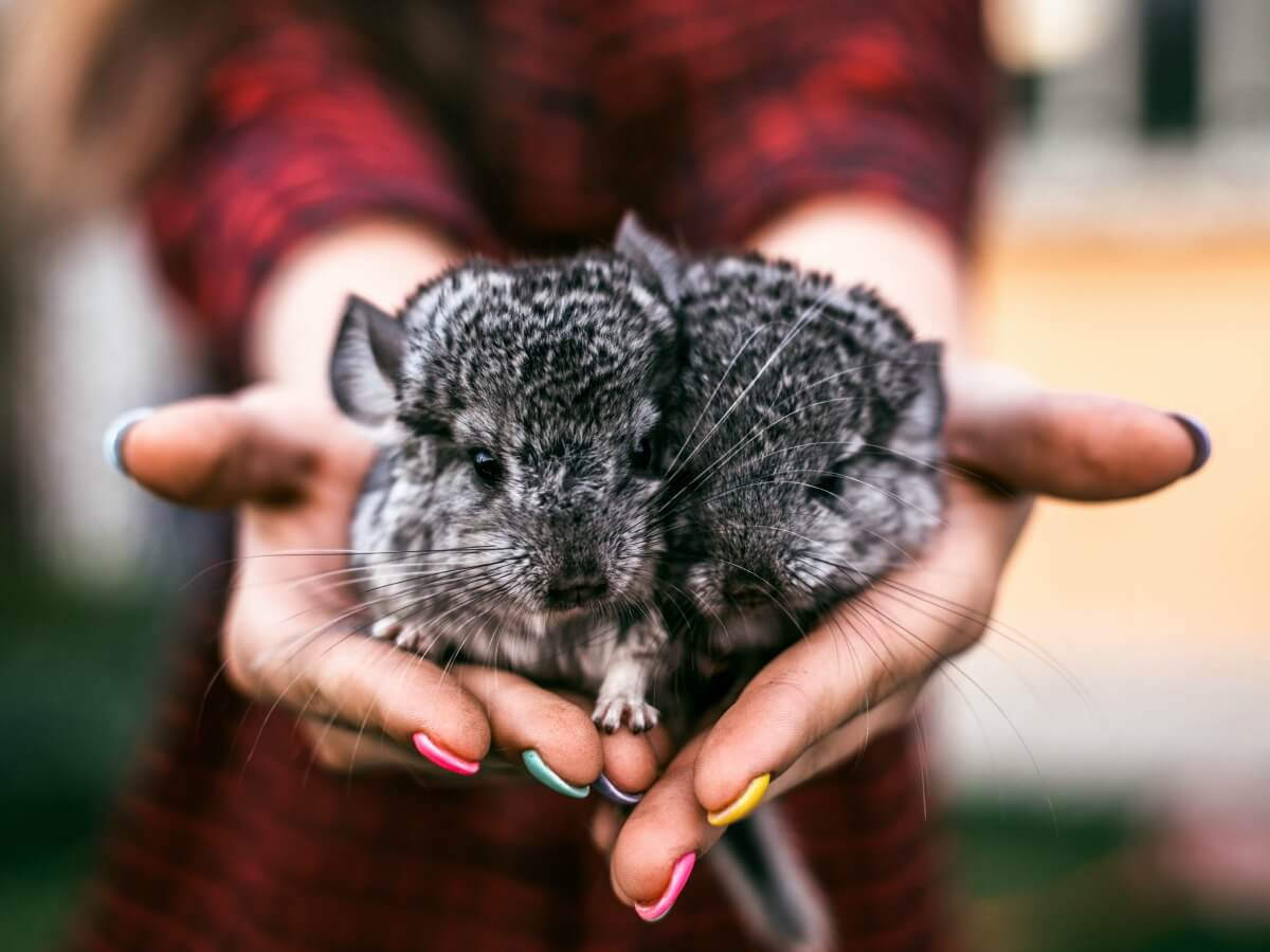 7 Reasons to Volunteer Abroad with Wild Chinchillas in Chile