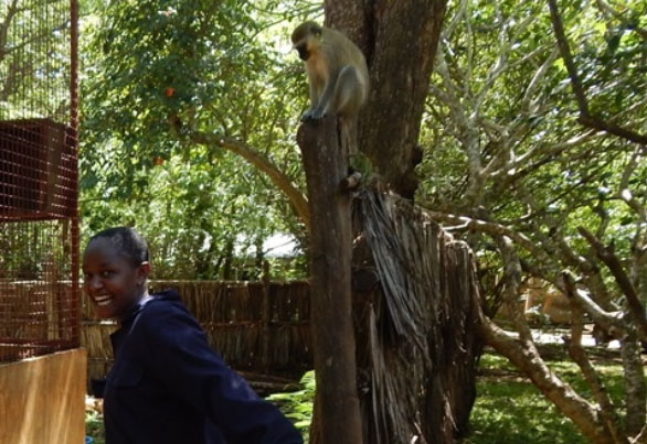 volunteer abroad college students kenya africa monkey conservation