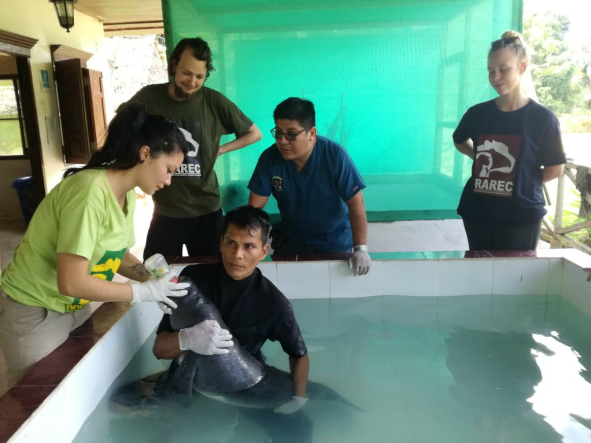 Dramatic Rescue:  Baby Orphan Manatee Saved by RAREC, a Non-Profit on the GivingWay Platform