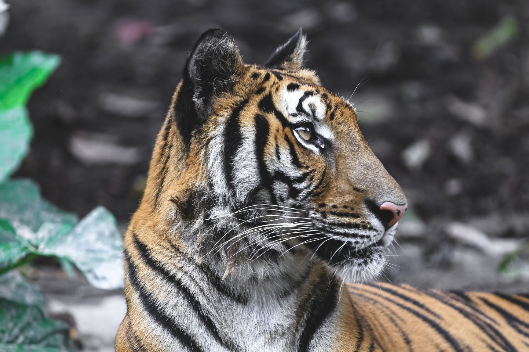 Saving Tigers in Nepal – Bhim's Lifelong Mission